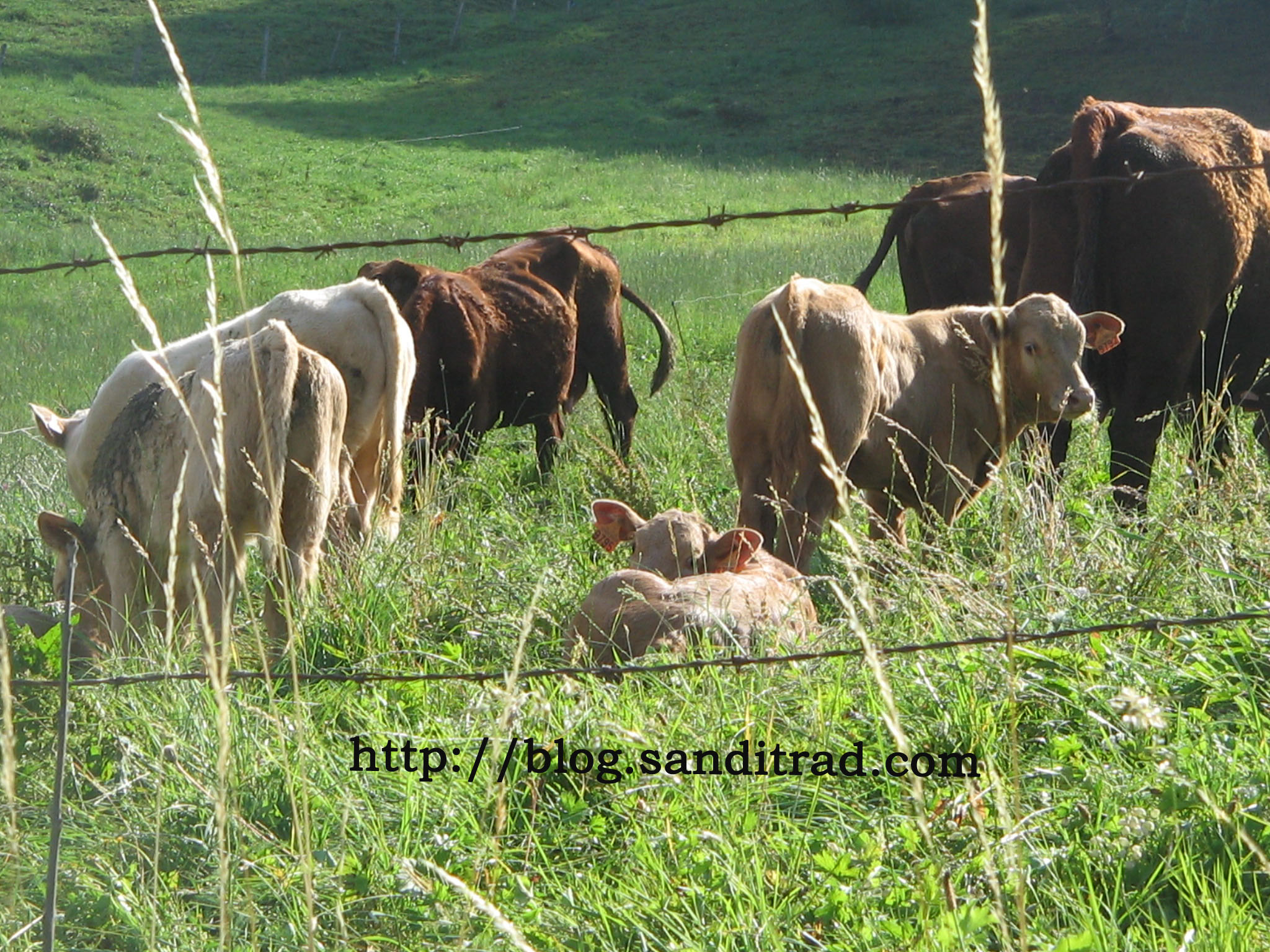 vaches-salers